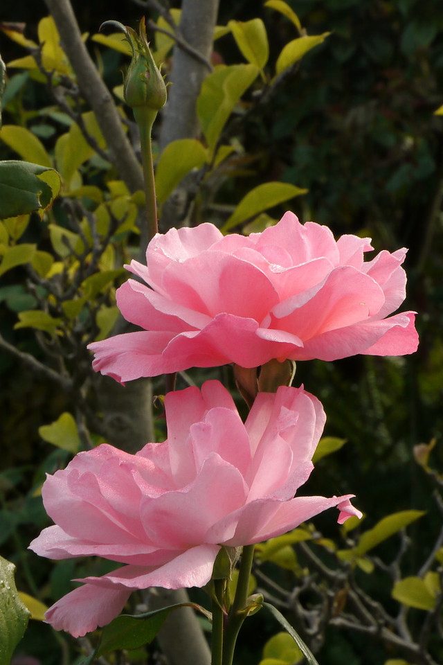 20130409_0915_7862 roses