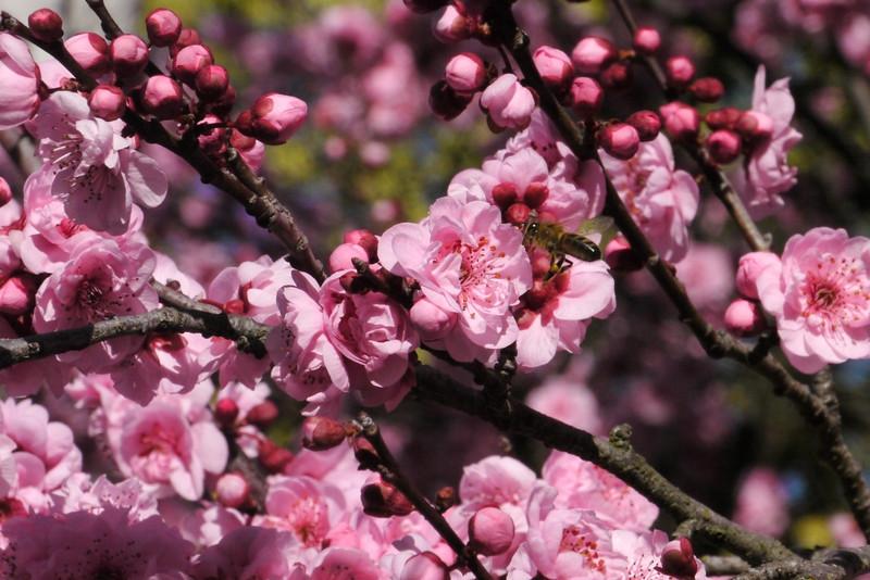 20130811_1117_9706 plum blossom bee