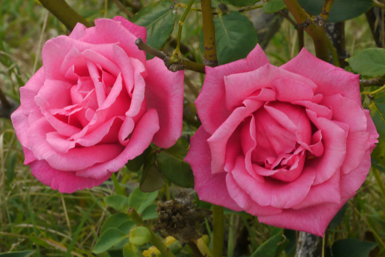 20130403_0922_7710 roses