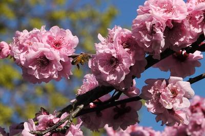 20130813_1005_9791 plum blossom bee