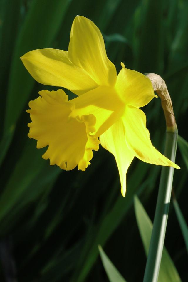 20130801_0958_9294 daffodil