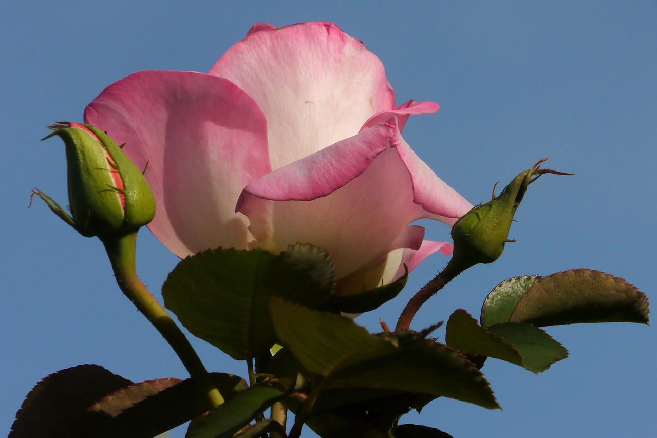 20130407_0844_7756 rose