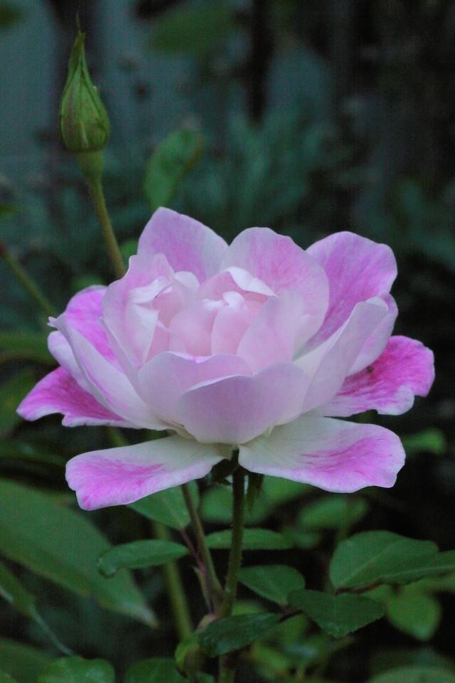 20130427_0733_8360 rose