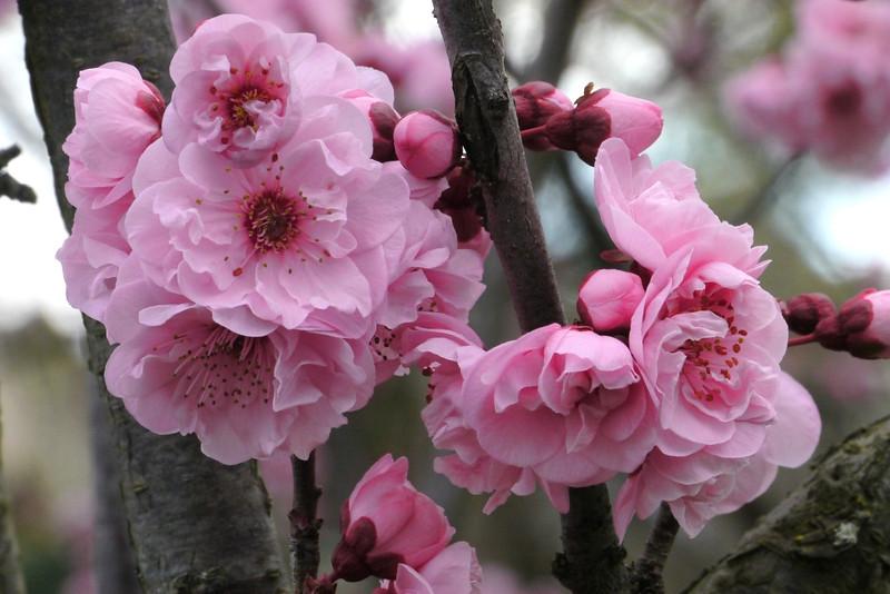 20130805_0907_9329 plum blossom