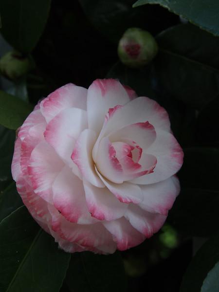 20130810_1636_0051 camellia