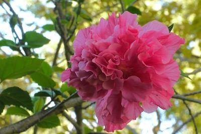 20130303_0832_7367 hibiscus
