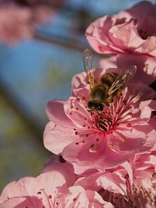 20130811_1550_0321 plum blossom bee