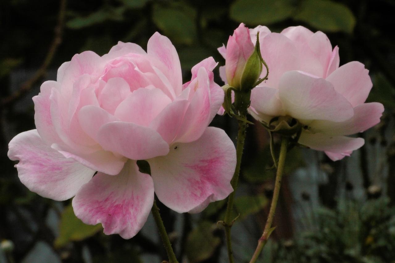 20130511_0820_8569 roses
