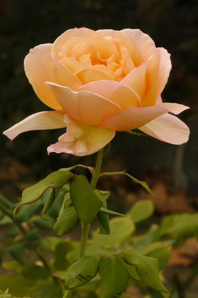 20130511_0835_8578 rose