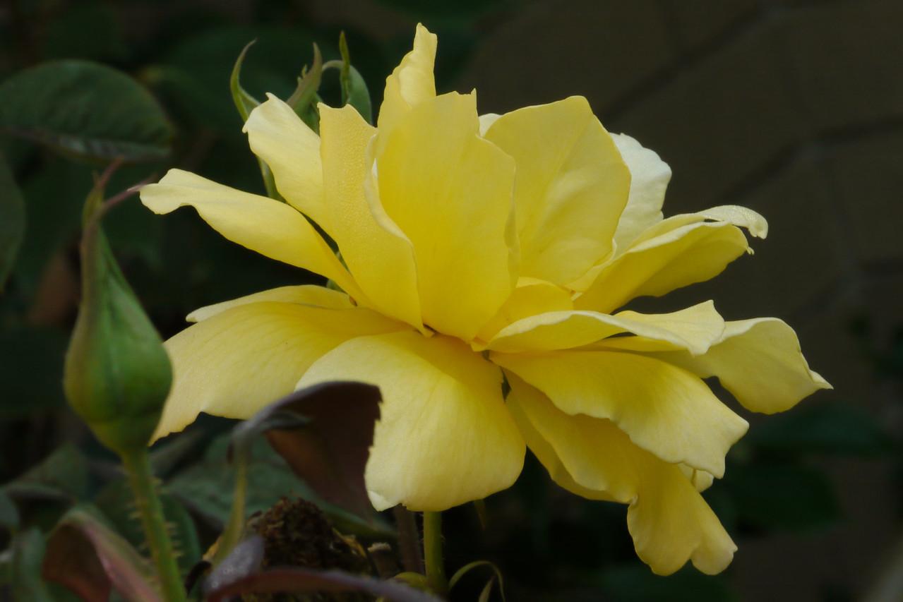 20130410_0916_7893 roses