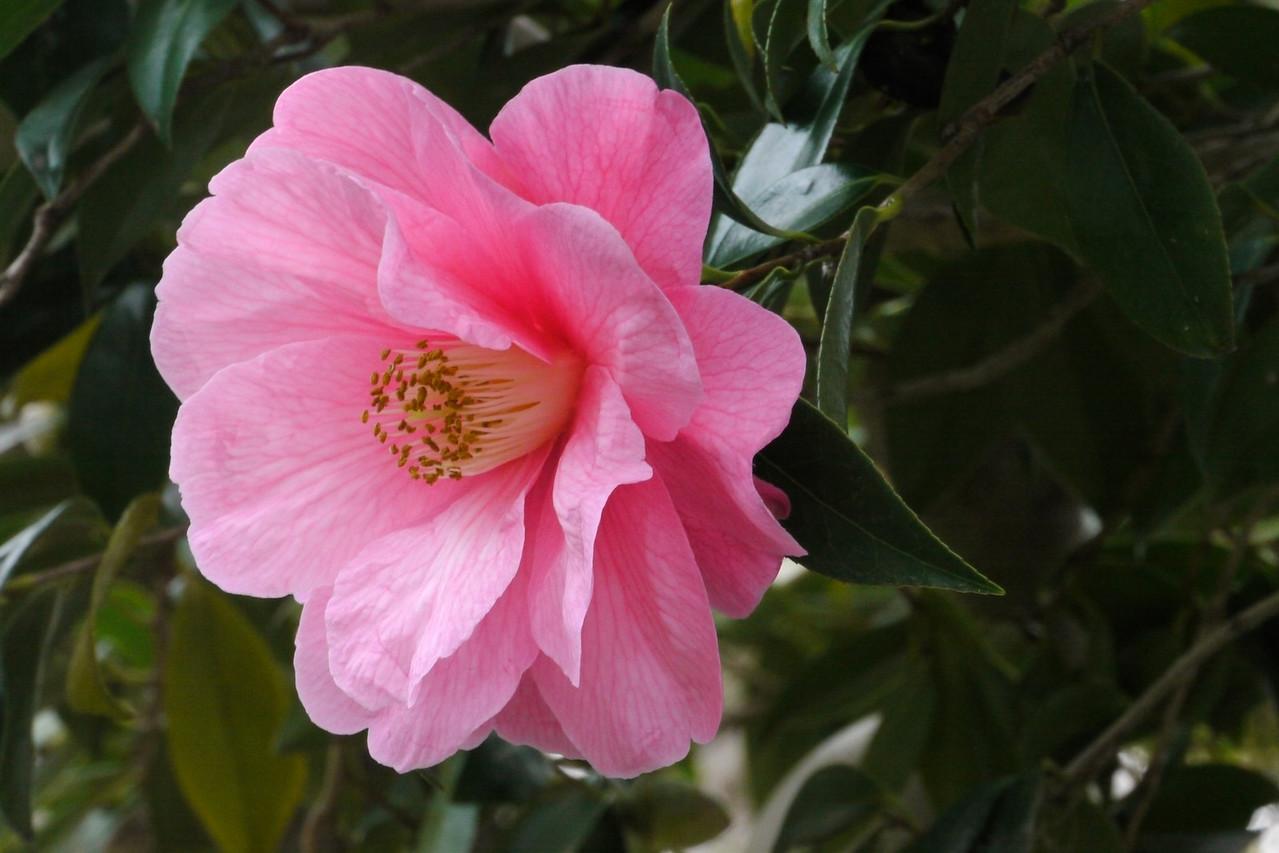 20130716_0919_9075 camellia