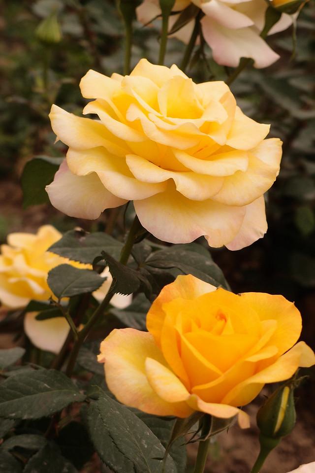 20130504_1637_4392 roses. HanYangLing, Xianyang, China