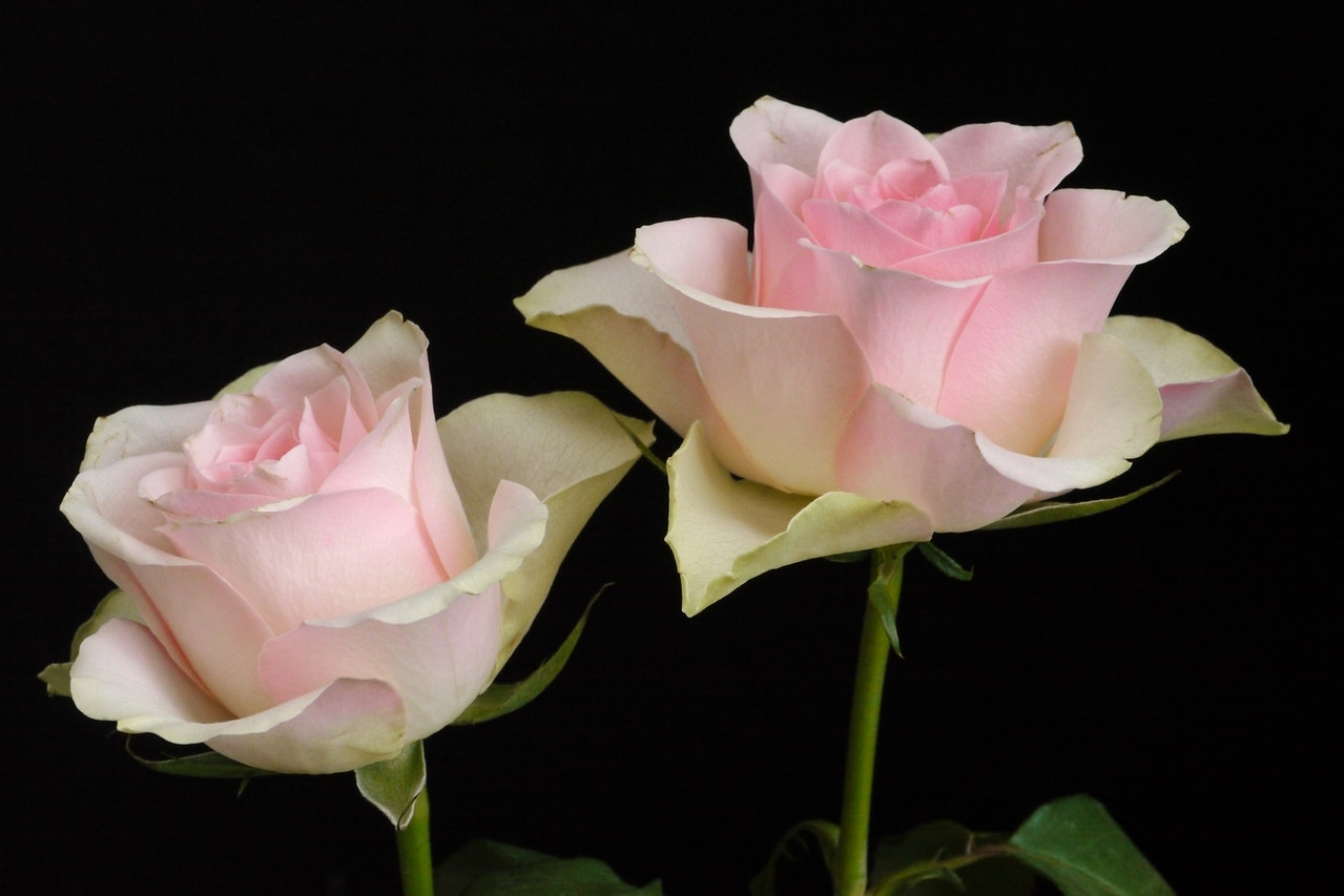 20130528_0823_8838 roses