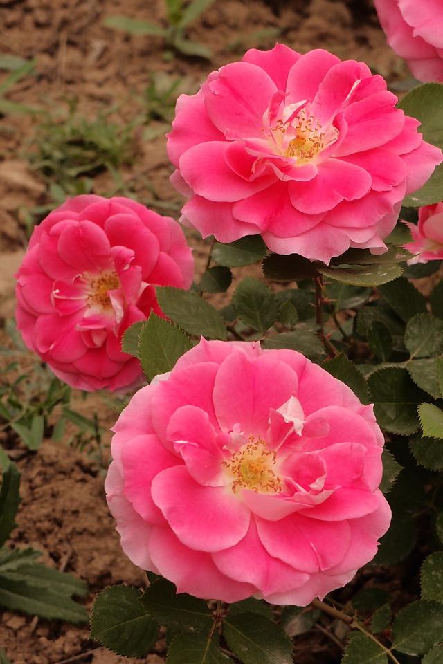 20130504_1635_4388 roses (HanYangLing, Xianyang, China)