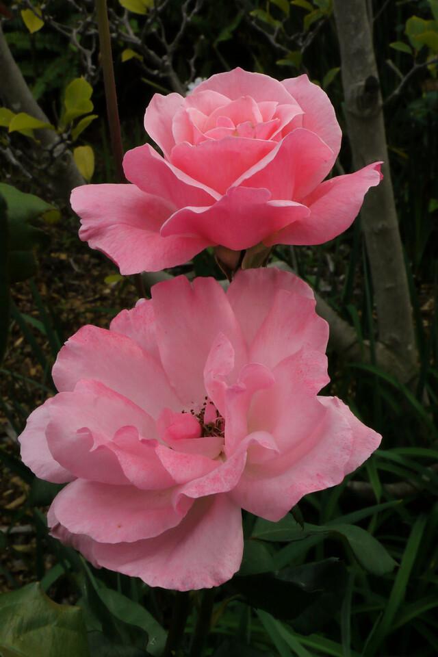 20130408_0908_7816 roses
