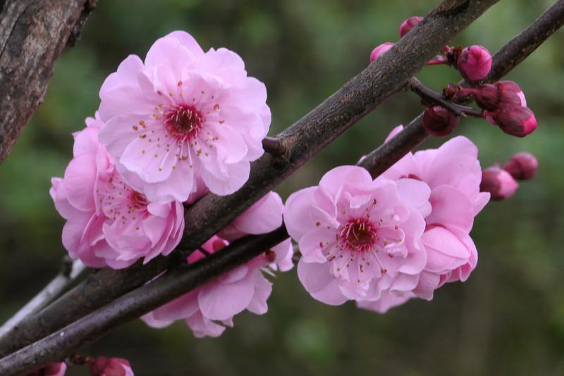 20130805_0902_9320 plum blossom
