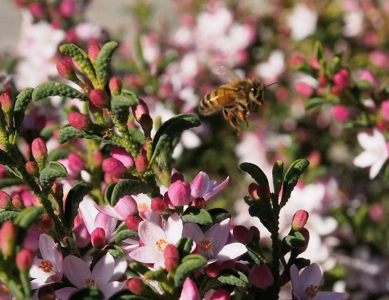 20130811_1330_0155 Kew Baptist bee
