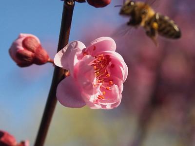 20130511_1530_0203 plum blossom bee