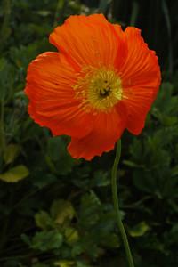 20130827_0959_10144 poppy
