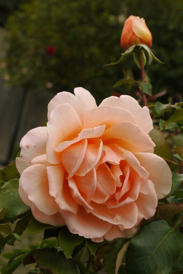 20130413_0938_7923 roses