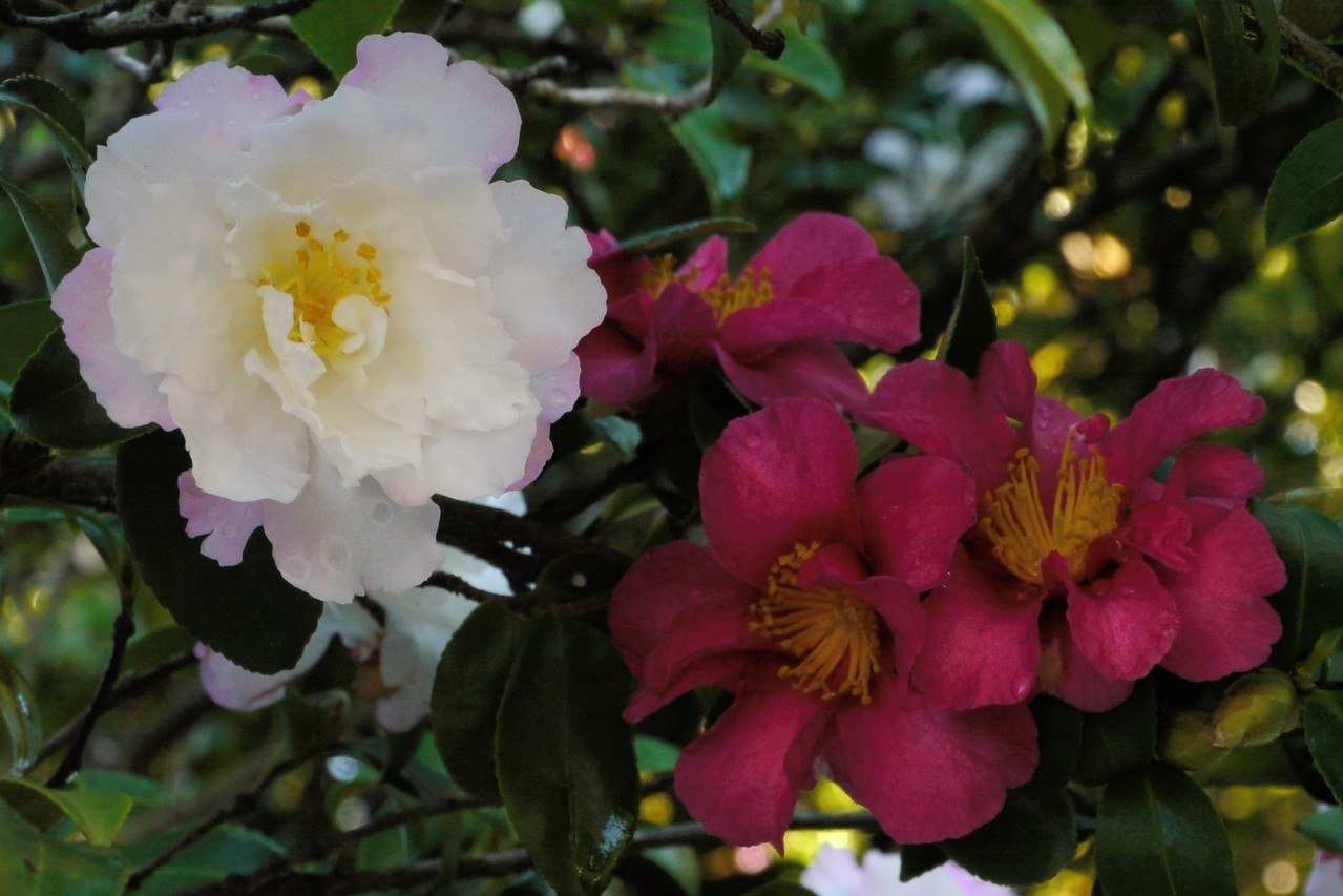 20130502_0918_8451 camellias