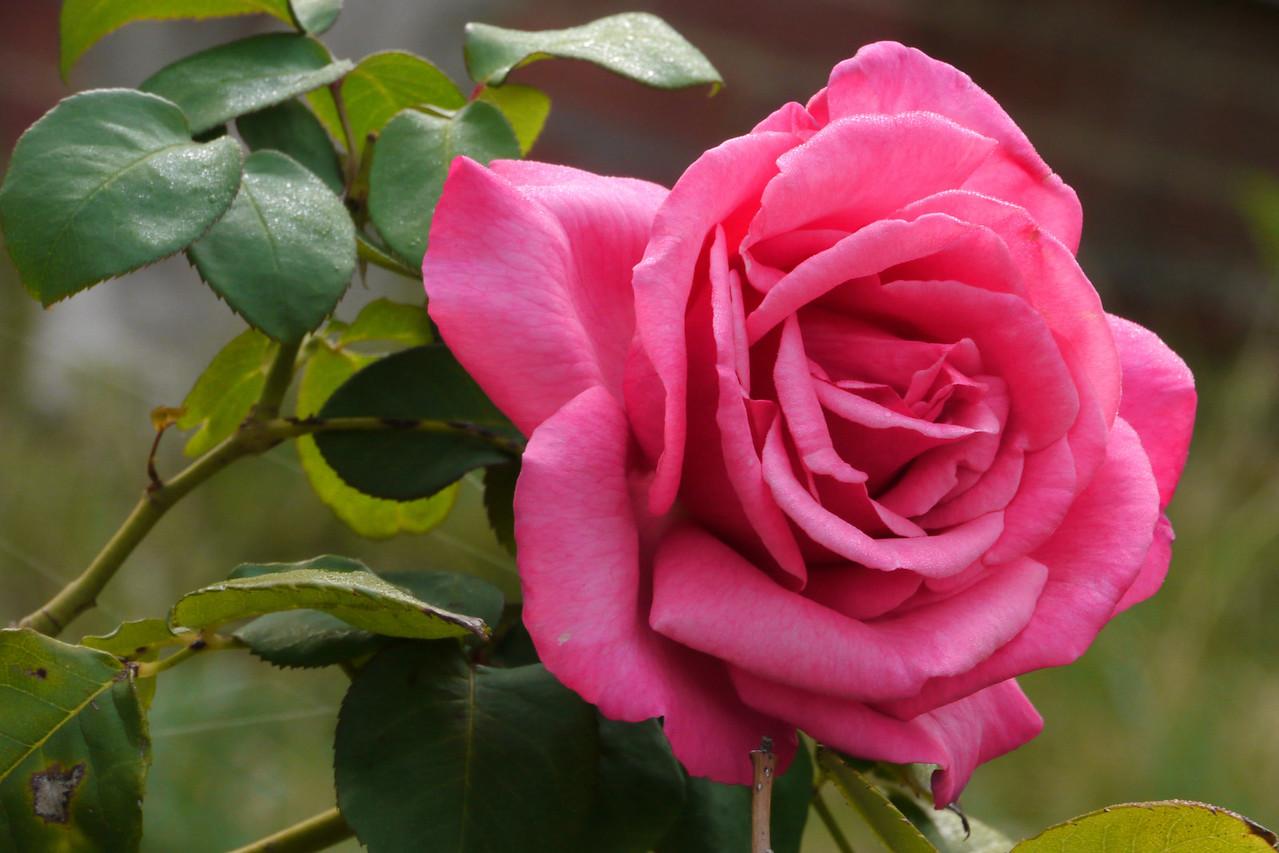 20130409_0902_7849 rose