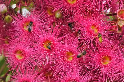20130403_0838_7618 flowering gum