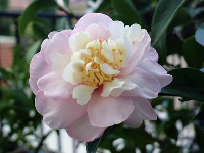 20130406_1425_0009 camellia