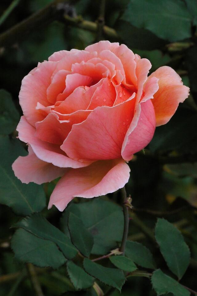 20130514_0914_8646 rose