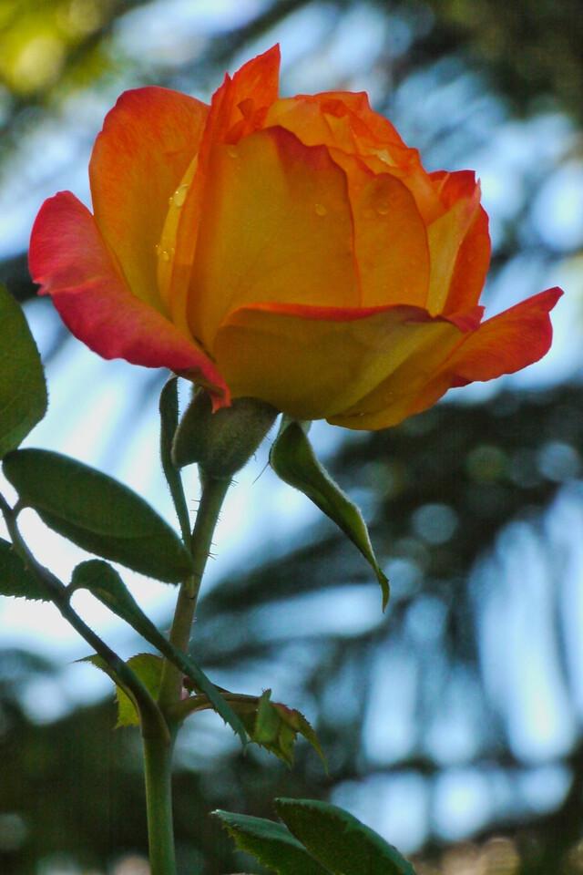 20130425_0853_8192 rose