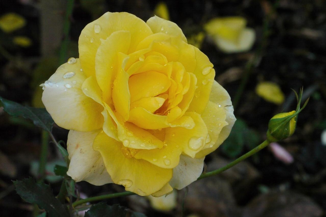 20130425_0848_8183 rose