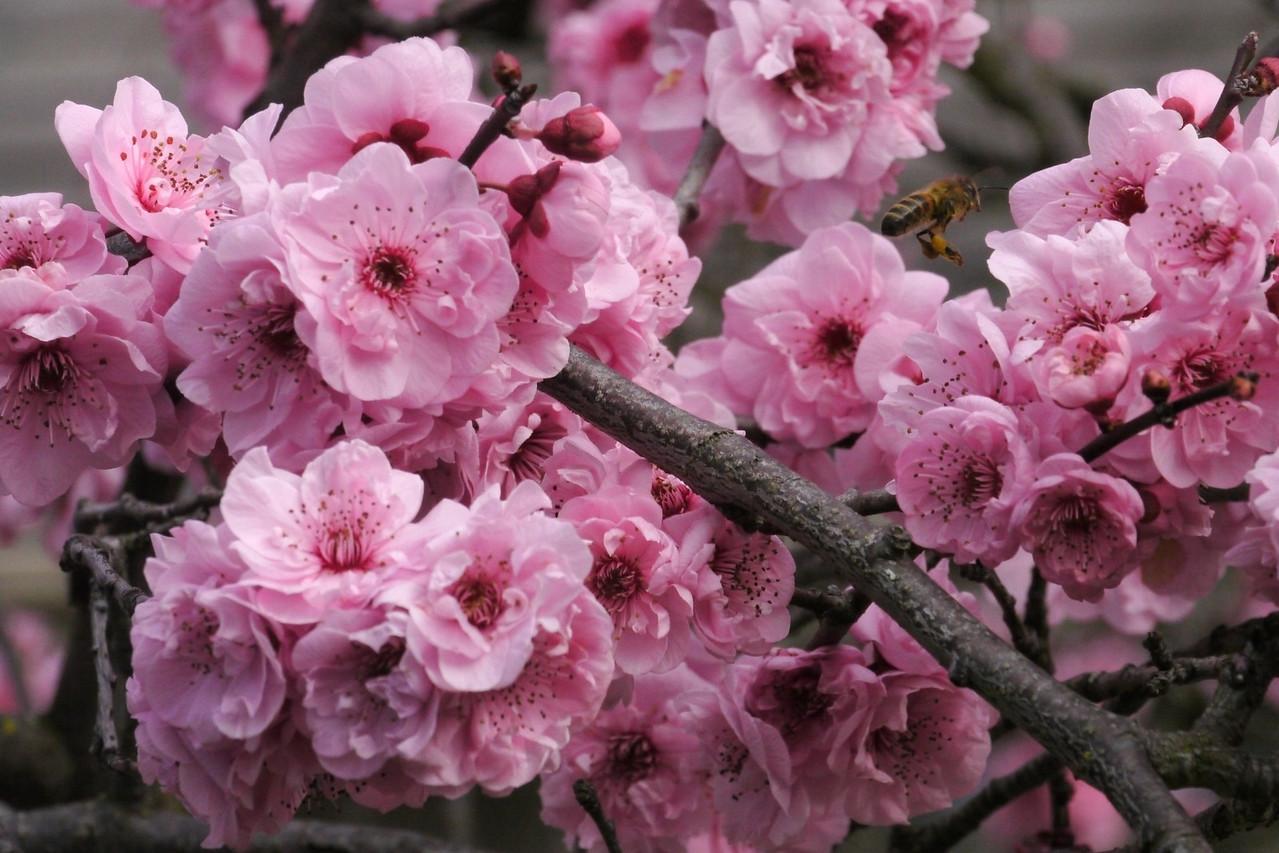 20130811_1048_9660 plum blossom bee