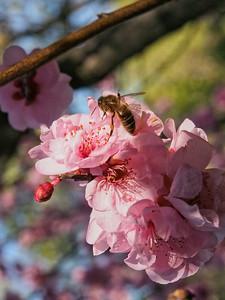 20130811_1525_0195 plum blossom bee
