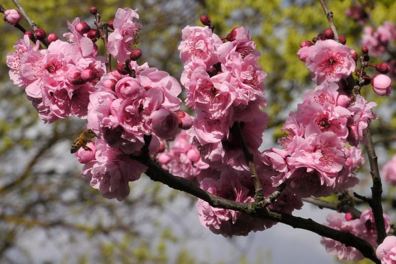 20130806_1214_9497 plum blossom bee