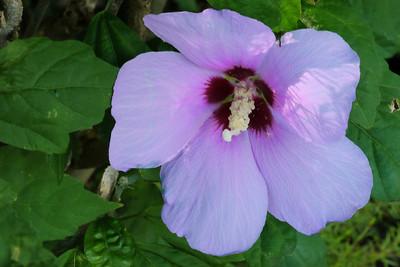 20130307_1007_7394 hibiscus