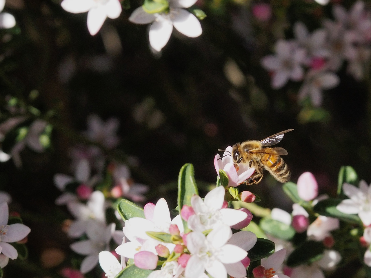20130811_1324_0073 Kew Baptist bee