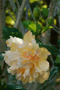 20130302_0844_7345 hibiscus