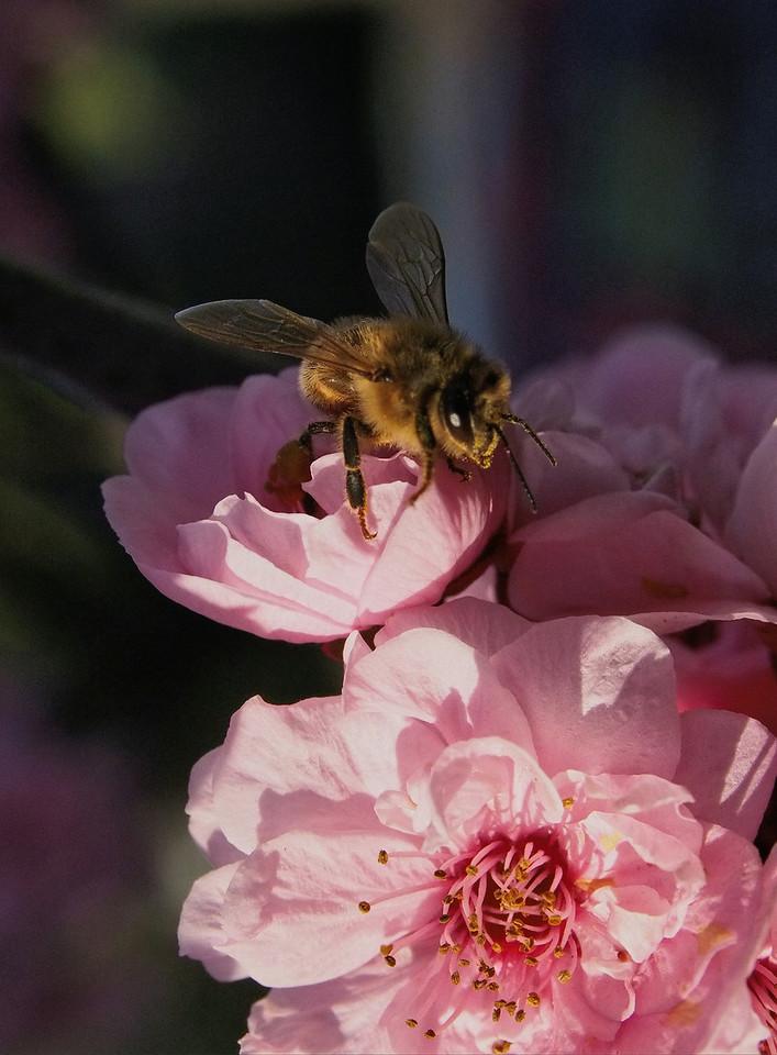 20130811_1554_0354 plum blossom bee