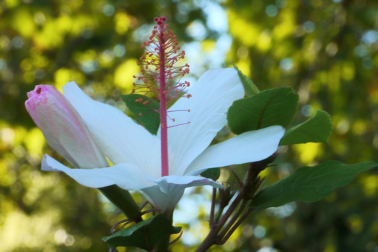 20130319_1816_7454 hibiscus