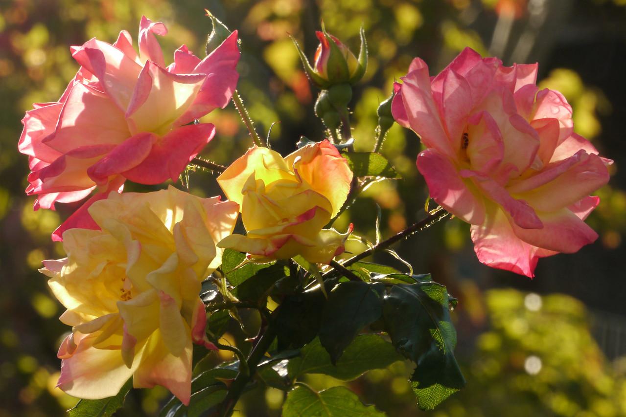 20130425_0927_8227 roses