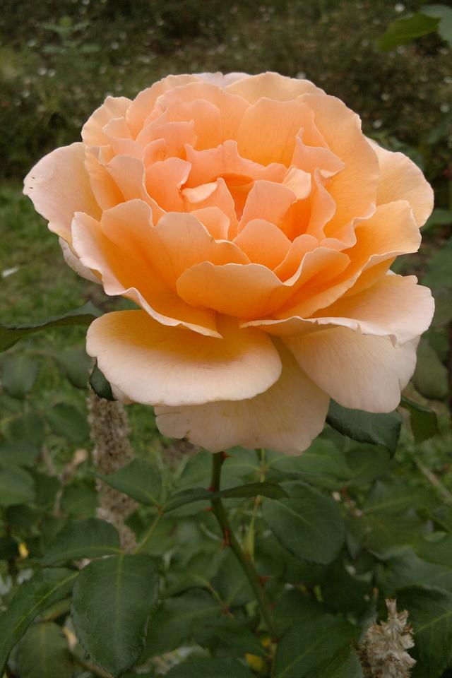 20130329_1639_051 rose