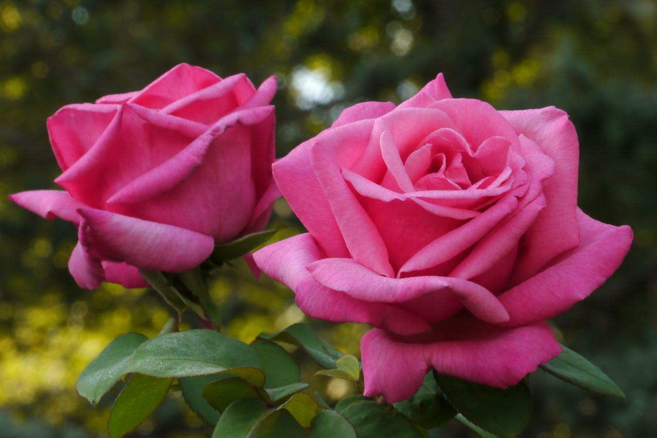 20130410_0909_7887 roses