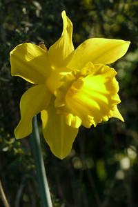 20130801_1001_9302 daffodil