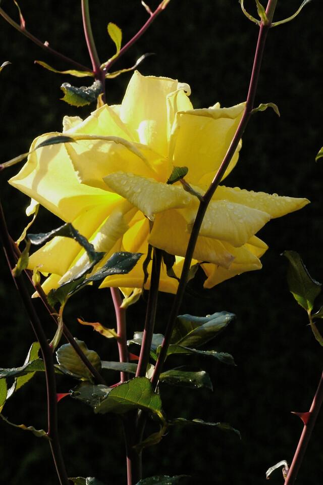 20130502_0929_8469 rose