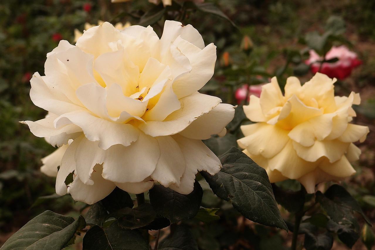 20130504_1627_4378 rose