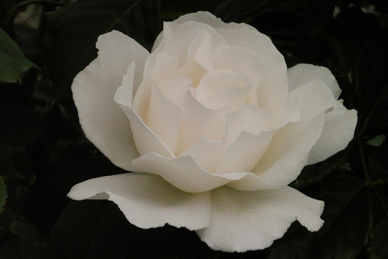 20130501_0927_8442 rose