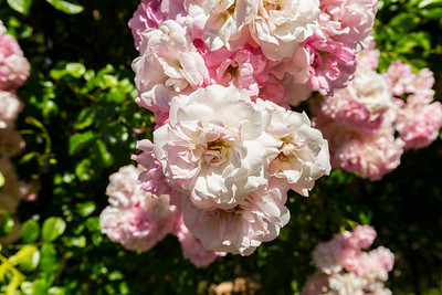 Rose. Government House. Victoria, BC, Canada
