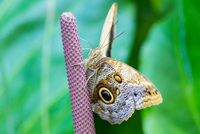 Giant Owl Butterfly (Caligo eurilochus). Victoria Butterfly Gardens - Central Saanich, BC, Canada