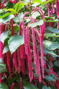 Pink Chenille (Acalypha hispida). Victoria Butterfly Gardens - Central Saanich, BC, Canada