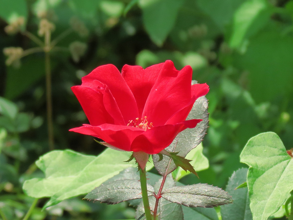 Red Rose in the Front Garden.